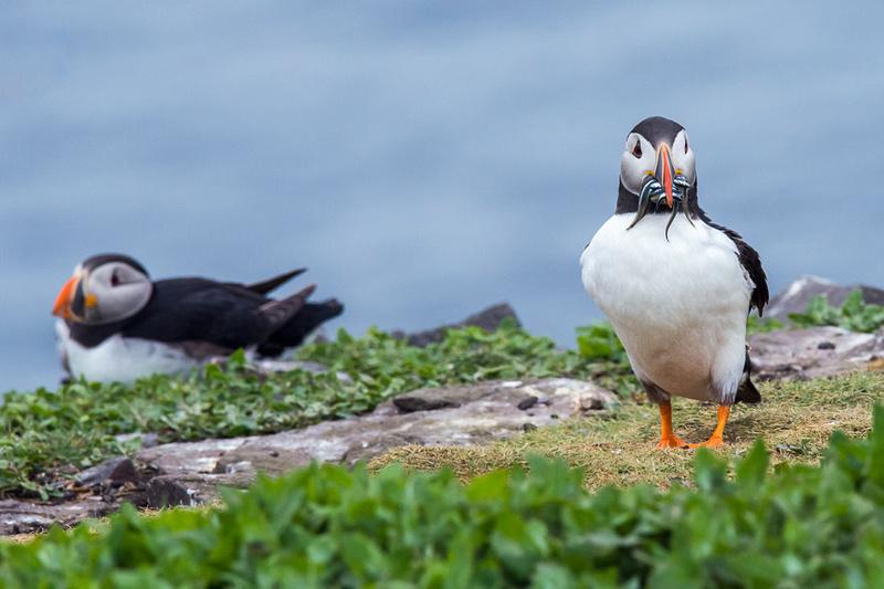farne island puffins photo northumberland