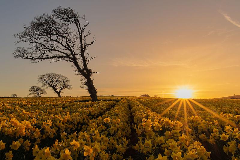 north wales daffodils rhuallt hill