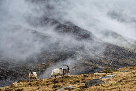 welsh mountain goats cwm idwal photo snowdonia north wales ogwen