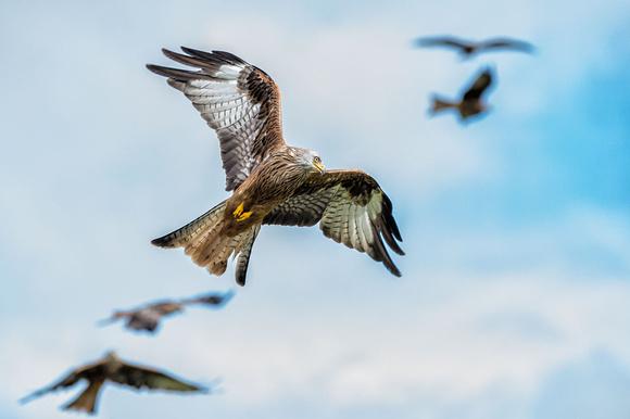red kites gigrin farm rhayader mid-wales