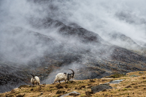 welsh mountain goats cwm idwal photo snowdonia north wales ogwen