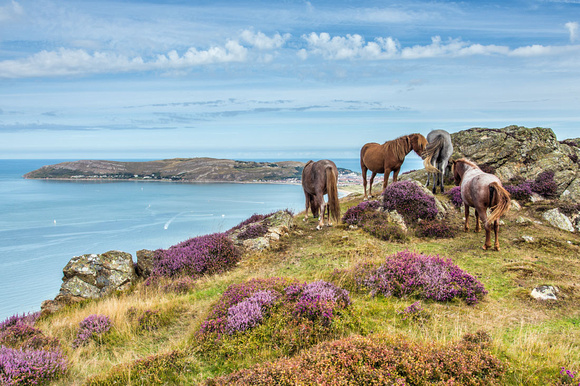 wild ponies conwy mountain great orme photograph